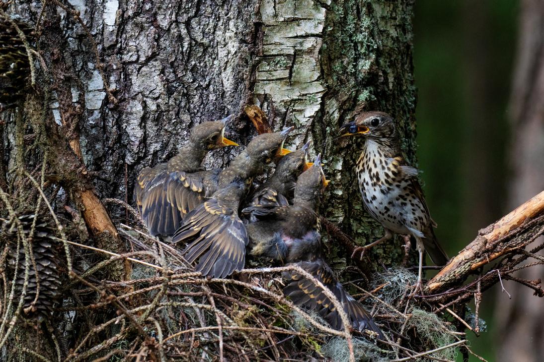 Laulurästas toidab poegi. Foto Karl Adami.