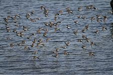 Dunlins and Curlew Sandpipers (4)