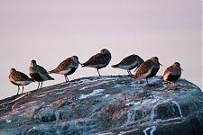 Dunlins (Calidris alpina)
