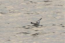 Mediterranean Gull (Larus melanocephalus)