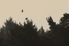 Eagle Owl mobbed by a Crow