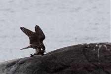 Merlin (Falco columbarius) with prey