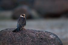 Juvenile Red-footed Falcon (Falco vespertinus)