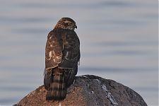 Juvenile Sparrowhawk (Accipiter nisus)