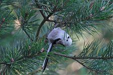 Sabatihane/Long-tailed Tit (Aegithalos caudatus)