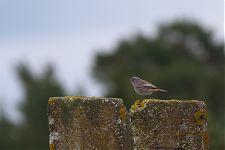 Must-lepalind /Black Redstart (Phoenicurus ochruros)