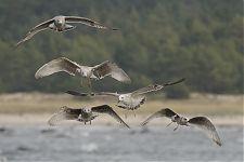 1st-winter Caspian Gull (Larus cachinnans)