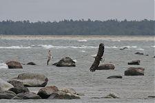 merikotkas/White-tailed Eagle (Haliaeetus albicilla)