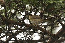 Salu-lehelind/ Willow Warbler (Phylloscopus trochilus)