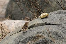Mägi-kanepilind/Twite (Carduelis flavirostris)