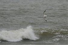 Kalakajakas/Common gull (Larus canus)