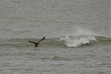 Mustvaeras / Common Scoter & Merikotkas / White-tailed Eagle