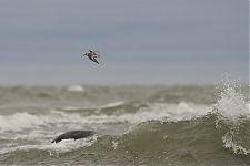 Leeterisla / Sanderling (Calidris alba)