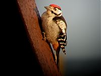 a tired woodpecker after crossing the sea