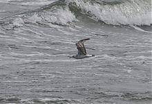 Common Gull / Kalakajakas