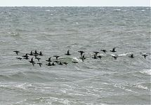 mustvaerad / Common Scoters