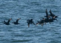 Ferrugineous Duck with Common Scoters