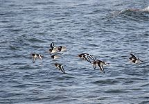 Meriskid / Oystercatchers