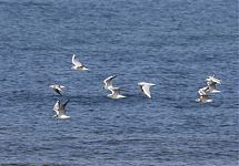 Naerukajakad / Black-headed Gulls