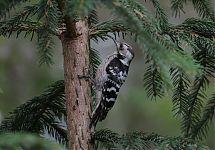 Väike-kirjurähn / Lesser-spotted Woodpecker
