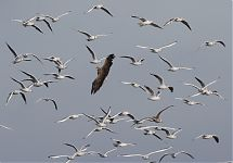Merikotkas & co / White-tailed Eagle