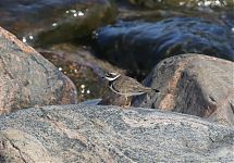 Liivatüll / Common Ringed Plover