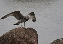 oiled Herring Gull