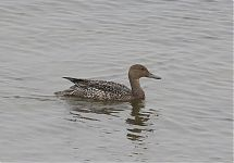 Soopart / Northern Pintail