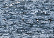 White-winged Scoter (2nd from right) with Velvet Scoters