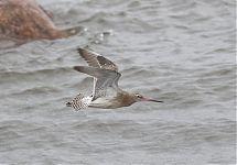 Vöötsaba-vigle / Bar-tailed Godwit