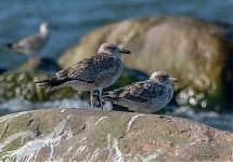 Wannabe Slaty-backed Gull