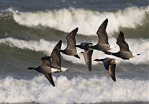 Mustlagled / Brent Goose