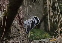 Laanerähn / Three-toed Woodpecker