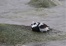 Aul / Long-tailed Duck