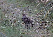 Põldpüü / Grey Partridge