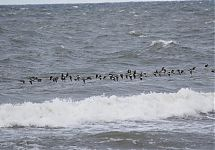 Aulid / Long-tailed Ducks