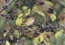 Türnpuu / Buckthorn