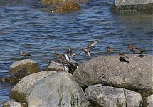 kahalajaid / some waders