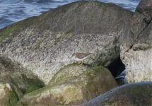 Spotted Sandpiper Actitis macularius