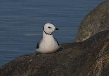 Roosakajakas / Ross's Gull